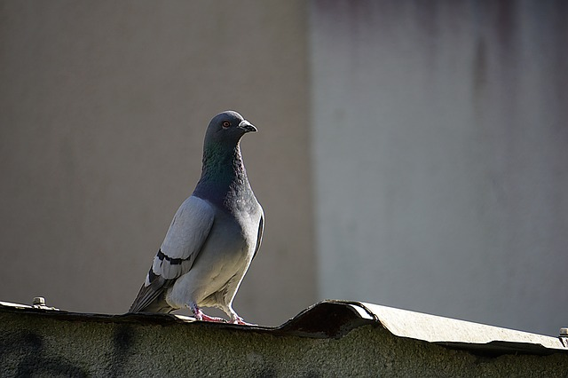 pigeon in my loft