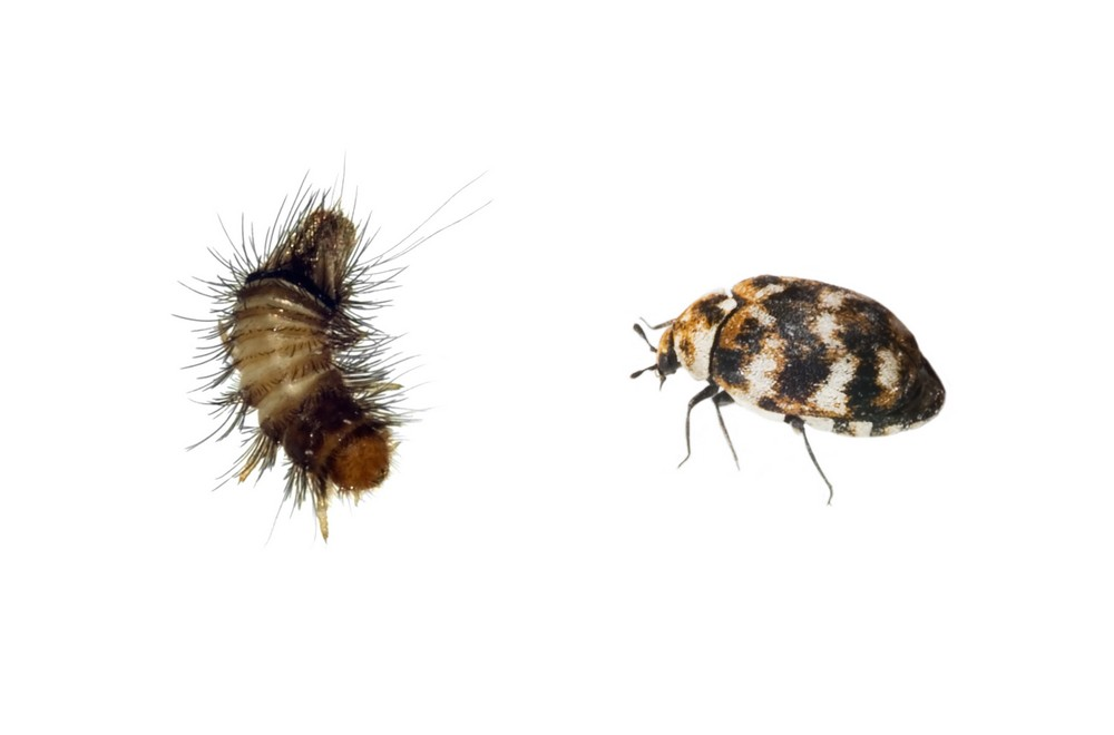 What does a carpet beetle look like