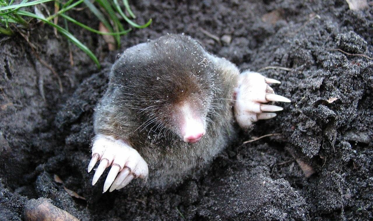 mole prevention