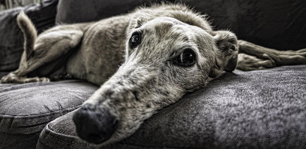 dog treated for fleas