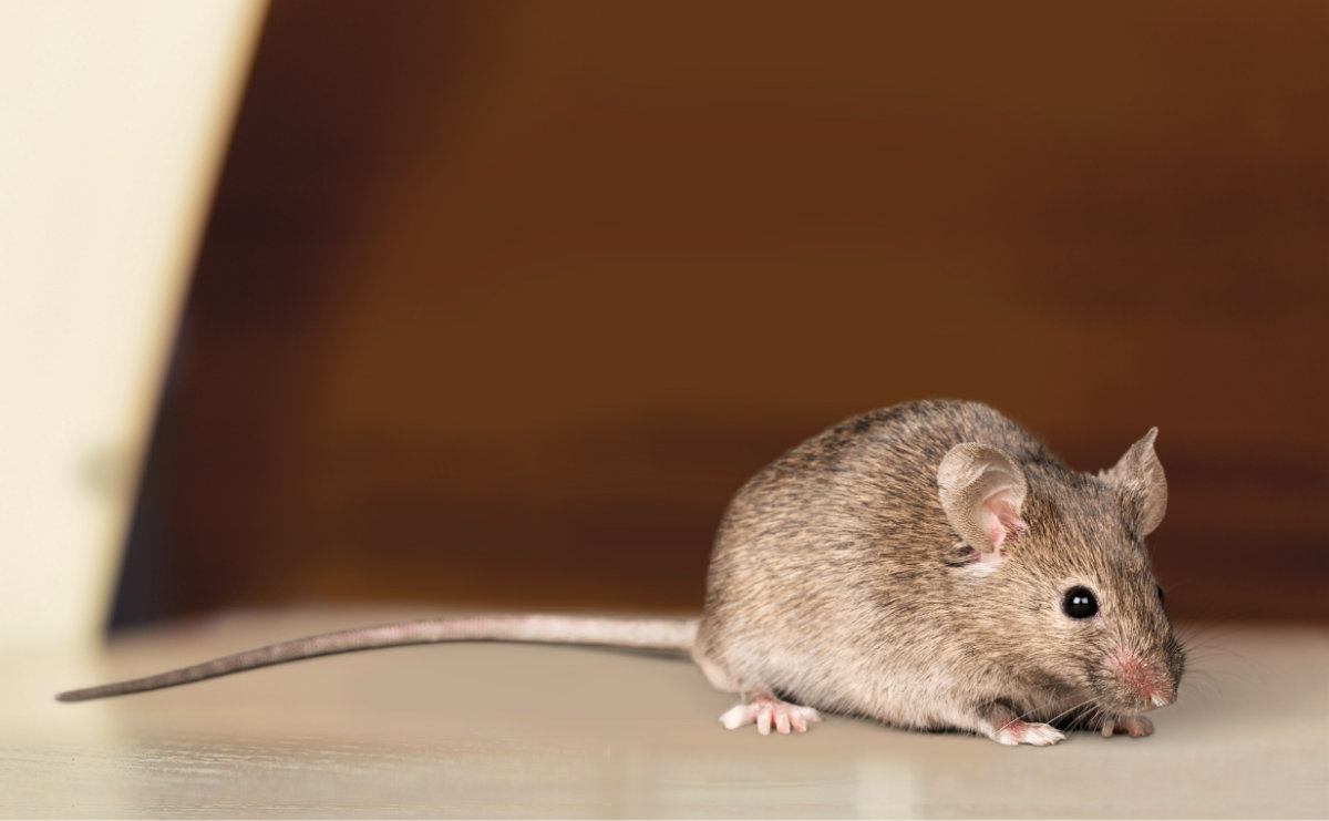 Types Of Mice In The Uk Mouse Identification Facts Pest