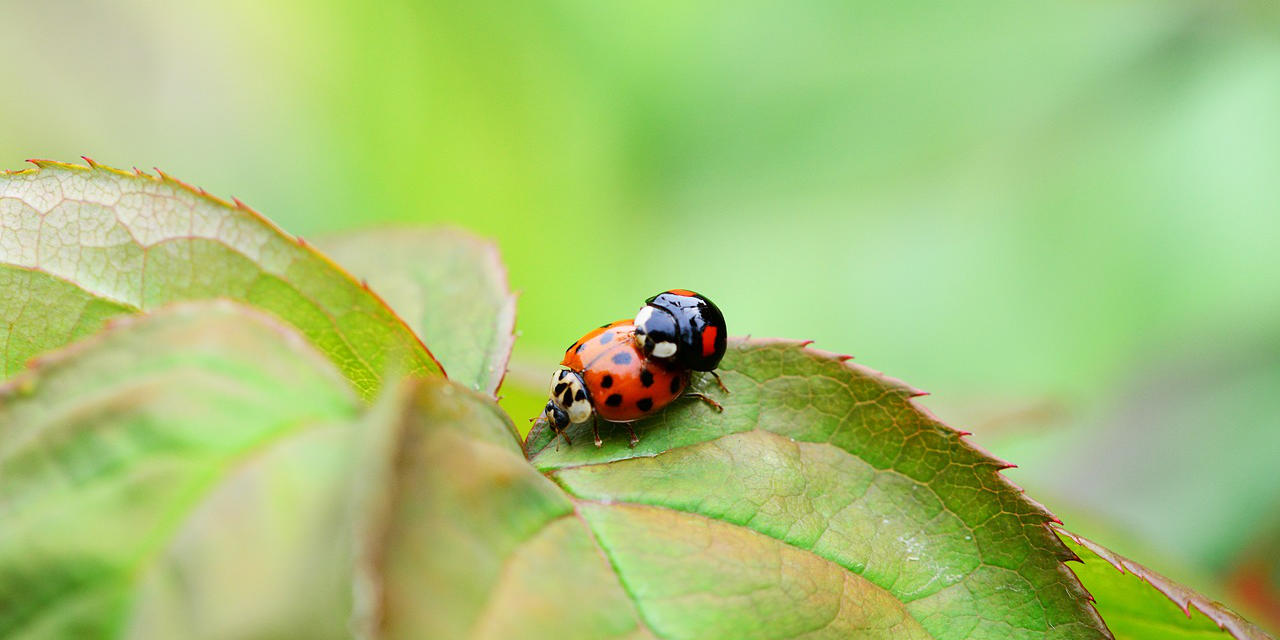 asian harlequin ladybird