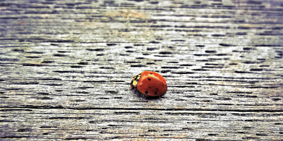 preventing ladybugs